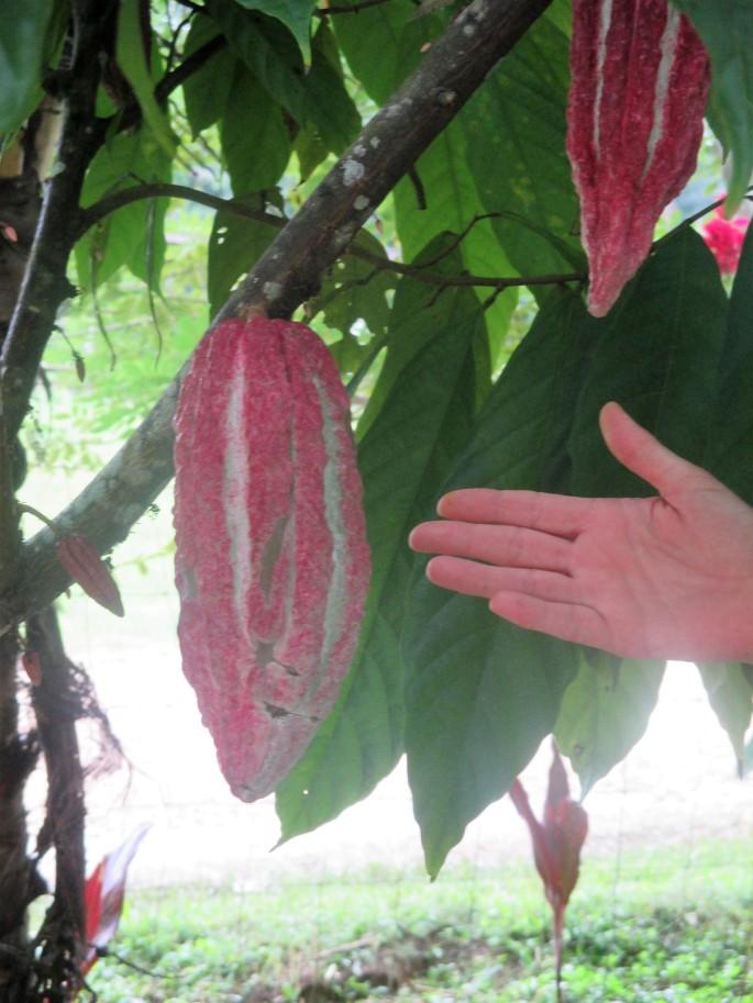 Ixcacao-Cacao pod 4.JPG