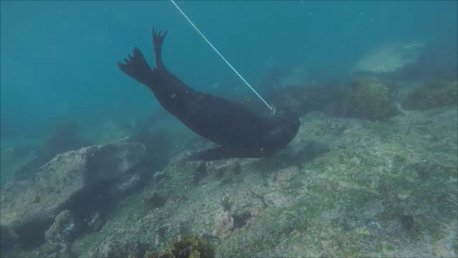 Sea lion pulling rope 2.png