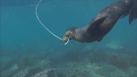 sea-lion-pulling-rope-3
